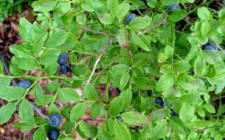 Какие растения хорошо понижают уровень сахара в крови